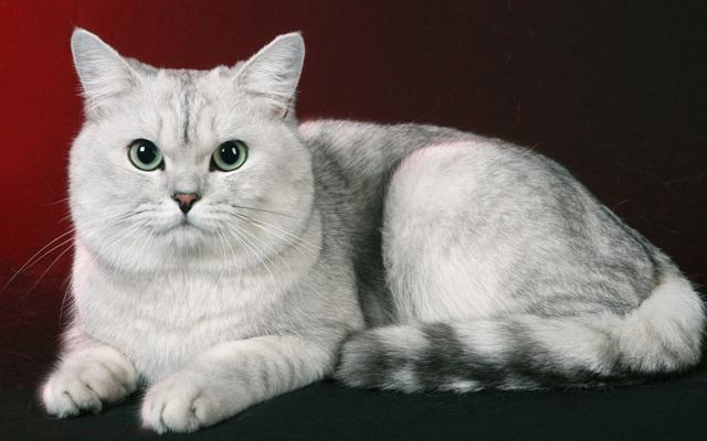 До какого возраста растут коты?