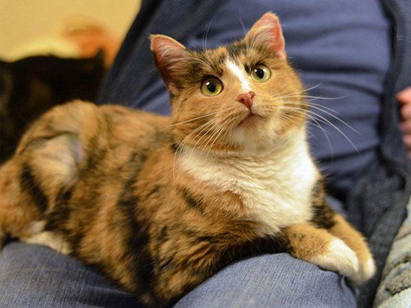 Трехцветная кошка в доме - почему приносит щастя
