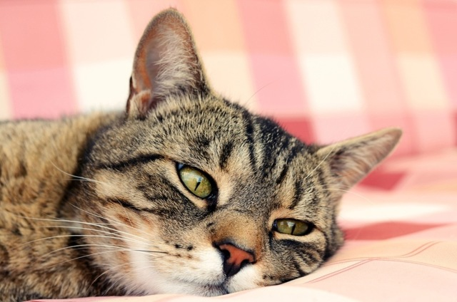 9 симптомов простуды у кошек - как лечить