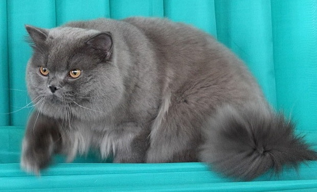 В каком возрасте можно случать кошку?
