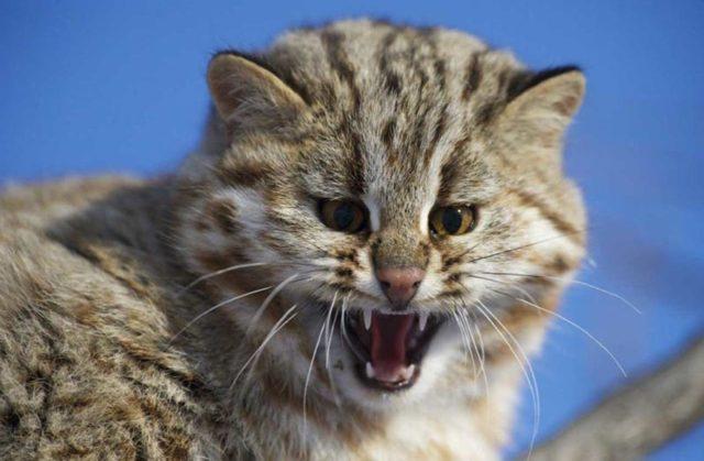 Дальневосточный лесной кот  - фото, описание и характеристика породы