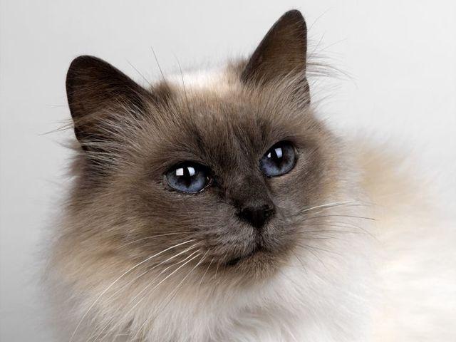 4 причины почему у кота чёрные точки в шерсти - симптомы и лечение