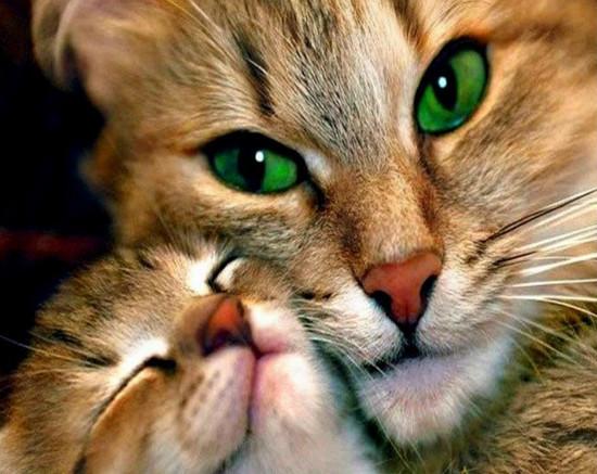 Сколько раз в год рожает кошка - частота родов