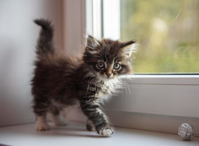 8 причин вздутия живота у кошки - как лечение