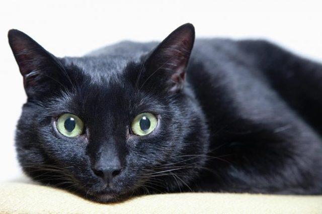 Самая долгоживущая кошка - породы, и описание