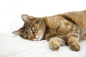 Тавегил для кошки - дозировка, инструкция по применению
