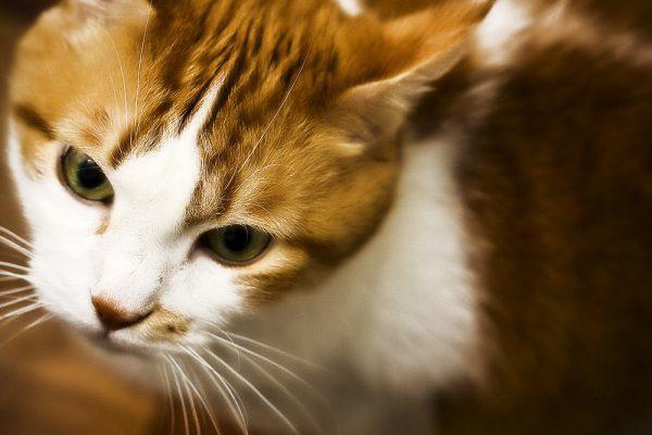 Выделения из глаз у кошек - причины и лечение