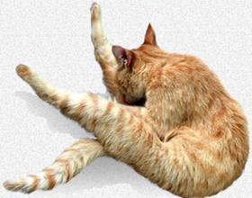 7 причин почему кот лижет свои яйца