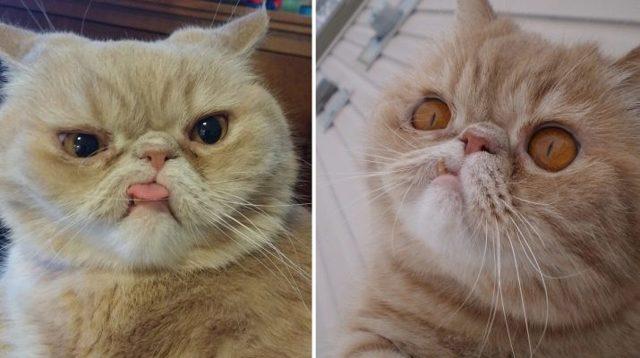 Порода кошек с приплюснутым носом - фото и описание
