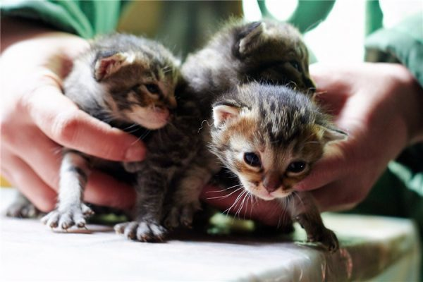 До какого возраста котенок считается котенком