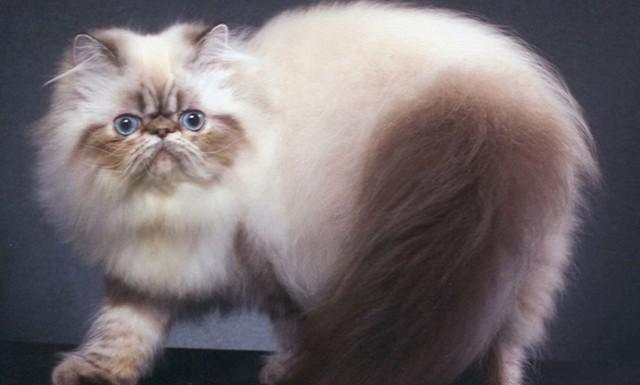 Камни в мочевом пузыре у кота - причины, симптомы и что делать