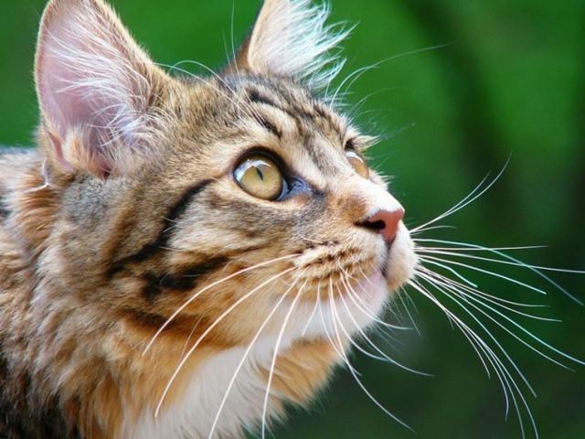 У кошки воспаление лимфоузлов - симптомы и лечение