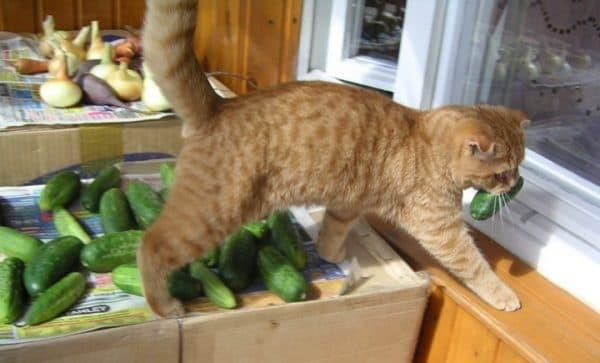 Причины почему коты боятся огурцов