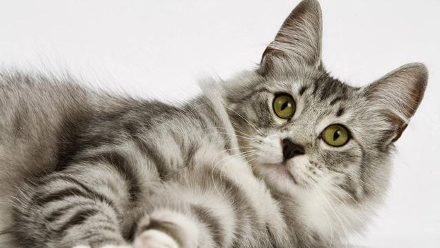 Но-шпа кошке - дозировка в таблетках и уколах