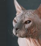 Отрастают ли усы у кошек - для чего нужны