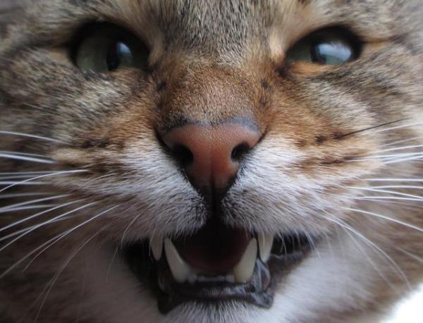 8 причин почему кошка скрипит зубами - что делать