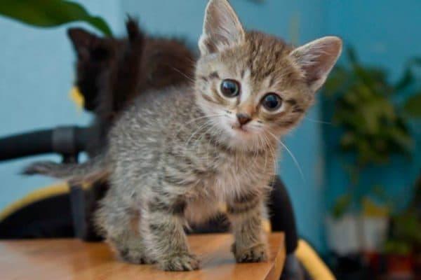 4 причины, почему  у котенка рахит: симптомы и лечение