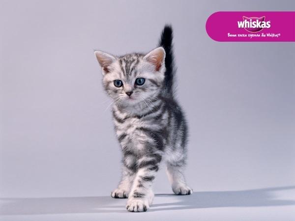 Кота из рекламы Вискас - название породы