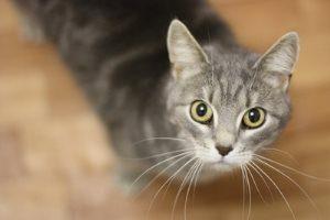 Стерилизованная кошка просит кота - правда или миф