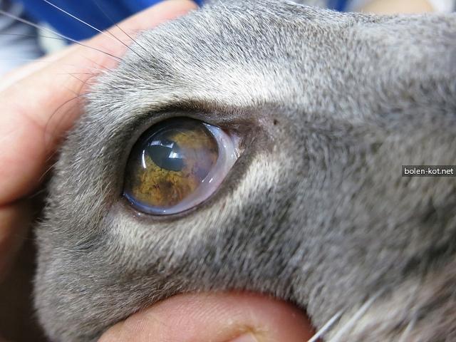 9 причин почему закисают глаза у котенка - что делать
