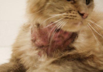 3 причин почему у кота на шее выпала шерсть