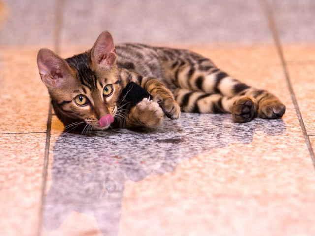 Как собрать мочу у кота на анализ?
