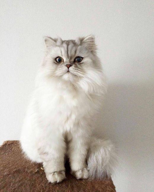 Порода кошек с большими глазами и приплюснутой мордой