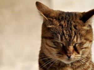 4 причины мастопатии у кошек - симптомы, лечение