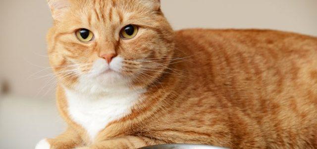 Как отучить кошку от сухого корма и приучить к домашней еде