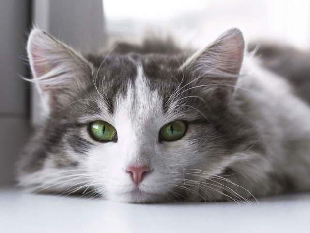 12 причин инфаркта у кошек - симптомы и лечение