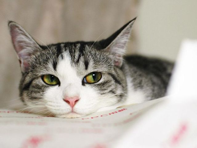 Кошку рвет - что делать, причины, лечение
