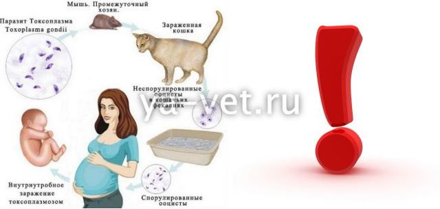 Как проверить кошку на токсоплазмоз