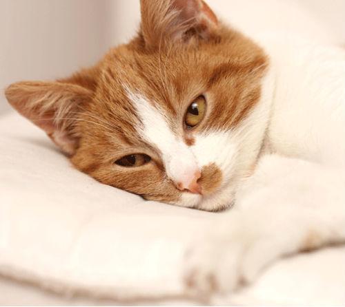 6 симптомов атонии кишечника у кошек - как лечить
