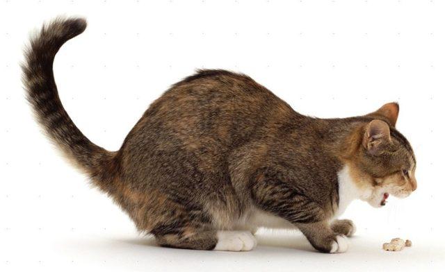 У котенка понос и рвота - симптомы и лечение