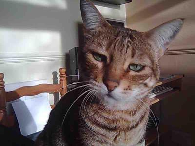 У котенка слезятся глаза - что делать, причины, лечение