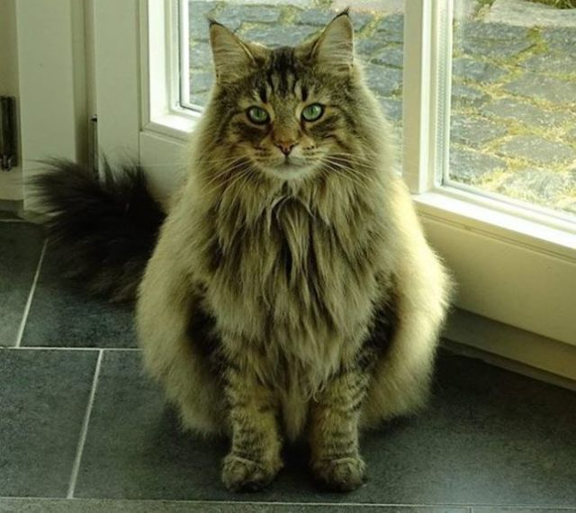7 необычных пород кошек - название, характеристика и описание