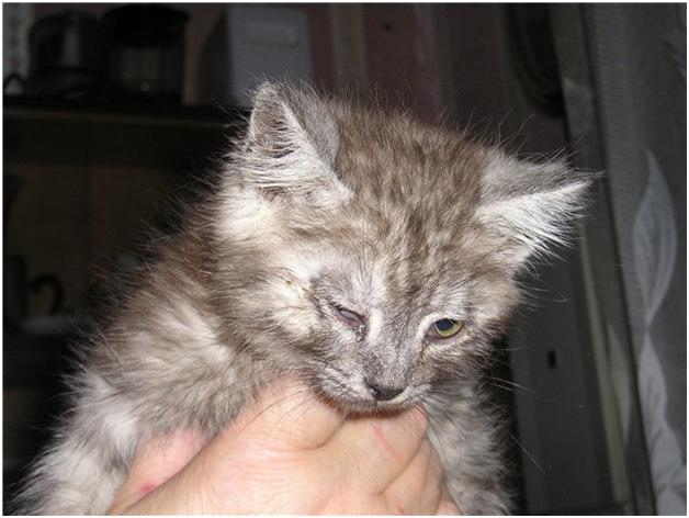 Гноятся глаза у котенка - чем лечить в домашних условиях