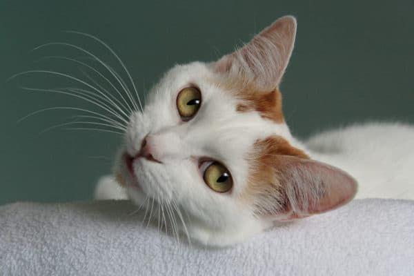 5 причин почему кошка пукает - что делать