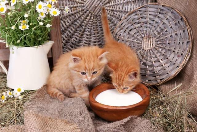 Кефир котенку - можно ли давать