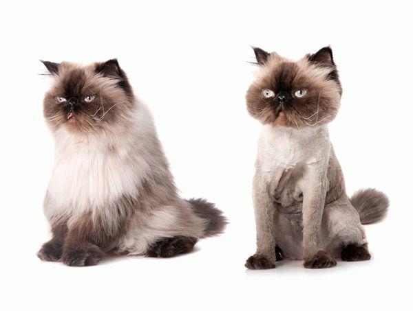 Сколько стоит подстричь кота?