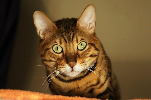 Во сколько кастрируют котов - подходящи возраст