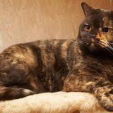 Трехцветная кошка - описание и характер пород