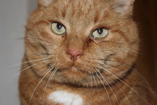 Симптомы аллергии на корм у кошек - как определить?
