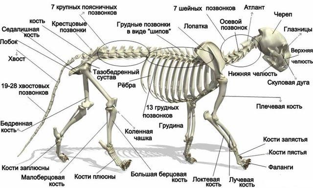 Сколько костей в теле кошки