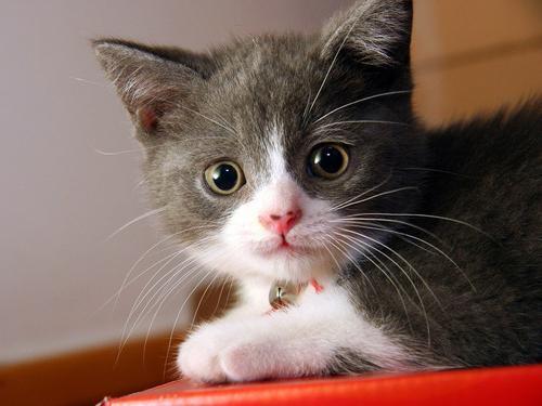 Риботан для кошек - инструкция по применению препарата