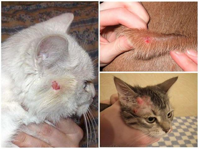Кошка чешется до болячек на шее но блох нет - в чем причина?