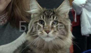 Лечение токсоплазмоза у кошек - что нужно делать