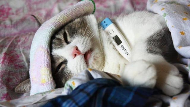 Котенок простыл - 6 симптомов и как лечить