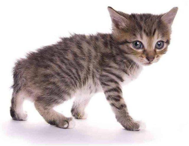 Как определить возраст котенка в домашних условиях