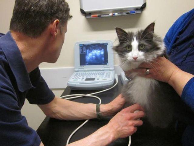 7 причин почему кошка писает кровью - симптомы и лечение